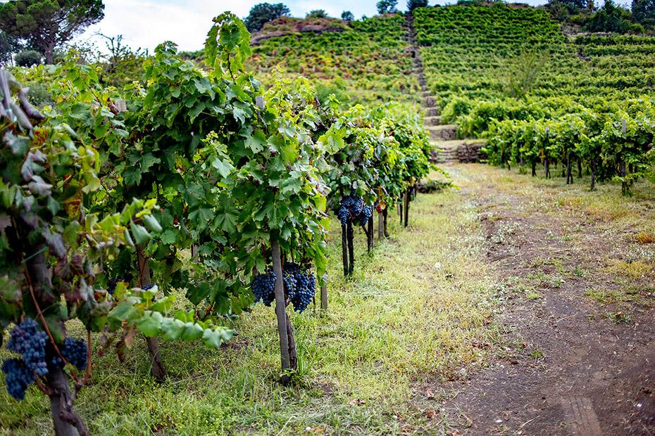 Lịch Sử Rượu Vang Vùng Rượu Vang Sicily